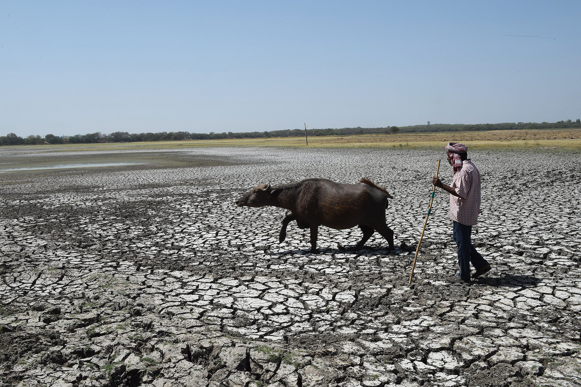 An Indian shepard with his buffalo walk on the dry bed of Thol Bird Sanctuary, a shallow water reservoir