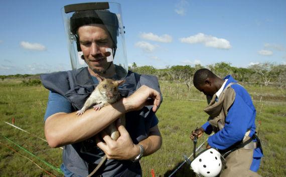 'HeroRATs' Corner Landmines and Tuberculosis in Africa