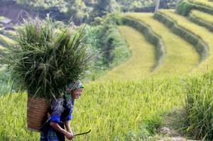 Vietnam-rice-woman-paddy-climate
