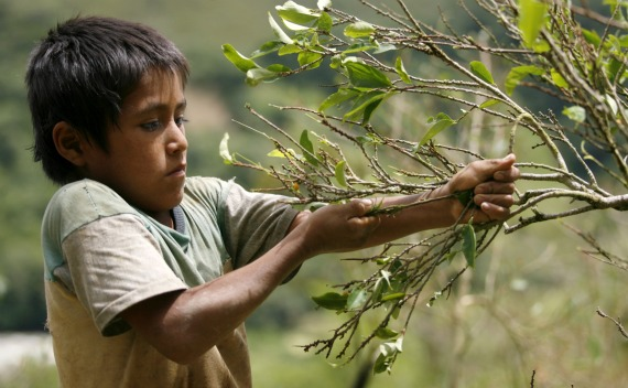 Coca leaf farmer John Basilio harvests coca leaves in Tingo Maria, Peru.