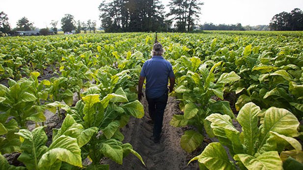A tobacco field in the Pleasant View community of Horry County, South Carolina